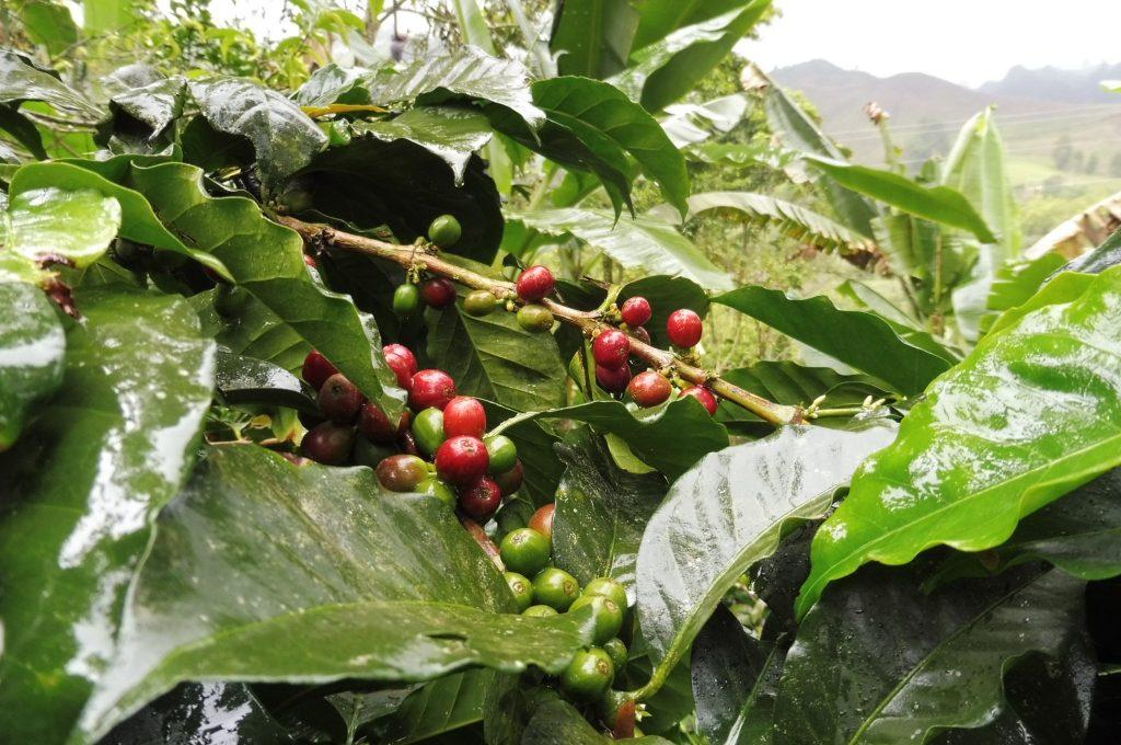 Colombia Salento Don Elias Coffee